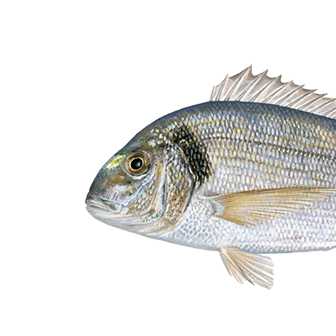 Gilt-head sea bream