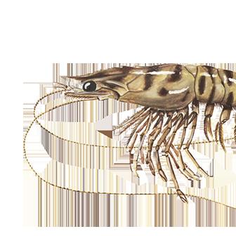The caramote prawn